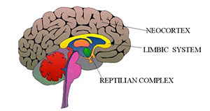 Brain showing reptilian, mammalian and neo-cortex